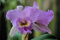 Blc. Mahina Yahiro 'Mishima AM/AOS (Blc. Meditation x Bc. Donna Kimura) (ACEZandEIGHTZ) Tags: orchid nikon d3200 plant hybrid bokeh saariysqualitypictures thebestofmimamorsgroups