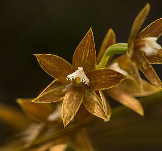 Thelymitra fuscolutea. Chestnut-Sun Orchid