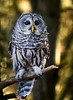 Hopeful Barred Owl Portrait (rmikulec) Tags: raptor bird owl barred canada woods trees bokeh sun autumn cold feather beak portrait photoshoot hike forest branches perched