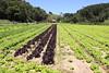 Lettuce plantation at Rancho Queimado (clborba) Tags: alface lettuce rancho queimado santacatarina