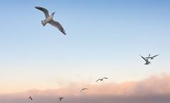 seagulls (photoksenia) Tags: d810 nikon flying sunset clouds seagulls sea sky bird