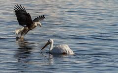 The Odd Couple (114berg) Tags: 06jan18 bald eagles mississippi river ld14 leclaire iowa