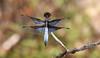 Palpopleura vestita - male (festoon1) Tags: palpopleuravestita dragonfly odonata madagascar