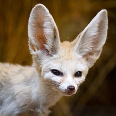 Photo of Fennec Fox