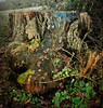 Decorative decay... (oh.suzannah) Tags: stump funghi oak acorns leaves