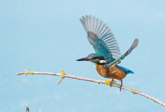 Kingfisher (cogs2011) Tags: canon sigma150600 nature bird kingfisher inflight birding