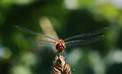 Libelle (Hugo von Schreck) Tags: hugovonschreck libelle dragonfly macro makro insect insekt canoneos5dsr