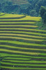 Terraced rice field in Northern Vietnam (phuong.sg@gmail.com) Tags: agriculture asia bali banaue countryside culture curve destination district environment famous farm farmer farming field food grass green harvest house landmark landscape laos meadow mountain myanmar natural nature north paddy philippines plant plantation rainy rice rough rural sapa scenic season terrace terraced thailand travel tropical valley vietnam vietnamese view