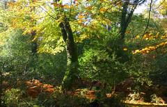 New Forest NP, Hampshire, England (east med wanderer) Tags: england hampshire uk newforestnationalpark nationalpark trees forest woodland beech oak holly