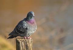 I'm the Master of All Pigeons (Thomas Vasas Photography) Tags: wildlife birds wildbrds animals nature parks coopercreekpark columbus georgia