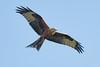 Red kite (Shane Jones) Tags: redkite kite bird birdinflight birdofprey raptor wildlife nature nikon d500 500mmf4