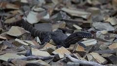 Blending In - Heath Monitor (Dan Denison) Tags: kangaroo island south australia heath monitor rosenbergs goanna lizard