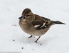 Looks like a duck! (kimbenson45) Tags: animal bird brown chaffinch closeup differentialfocus eating female nature outdoors seed shallowdepthoffield snow white wildlife winter wintry