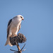 White-tailed+Kite+eating+mouse