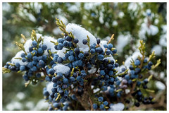 Blue Juniper Berries (JBayPhotographie) Tags: nature juniper snow green evergreen blue berries cold bokeh sharp