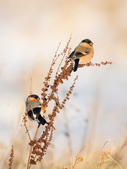 Mr & Mrs Bullfinch (raytaylor77) Tags: bokeh dof fieldcraft flowersplants grass longgrass outdoor wildlife bird branch cute eating feathers nature perched possing wild wings hawling england unitedkingdom gb