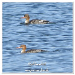 Red Breasted Mergansers (AlwaysLoveBirds) Tags: 162018 oklahoma city ok