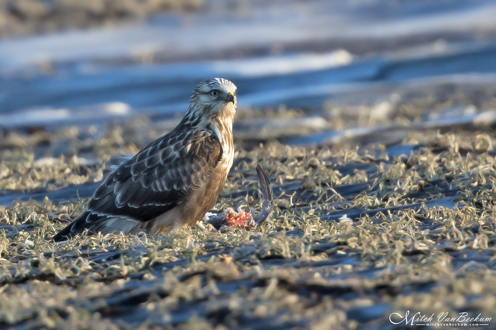It's a Rough Life (Rough-Legged Hawk)