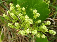 Nice place to live (jo.elphick) Tags: northhead moruya nsw australia beach green australiannative leaves flowers ladybug
