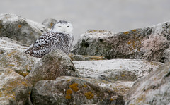 Snowy on the Rocks (Margo Dolan) Tags: snowyowl wisconsin portwashington owl winter lakemichigan white nature tamron 150600 g2 handheld ozaukee quiet waves sleepy