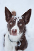 Winter has arrived! (doranyiro) Tags: border bordercolli dog pet puppy white brown winter snow portrait canon canon40d walk cold forest ourdoor eyes greeneyes