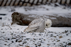 _RDX0255.jpg (rdelonga) Tags: nycteascandiaca snowyowl