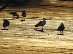 Acme Sunrise (Alemap.1) Tags: light sunrise gull morning