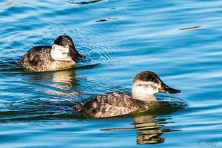 Ruddy Duck Gal Pals