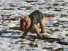 UK - Hertfordshire - Near Berkhamsted - Dog (JulesFoto) Tags: uk england hertfordshire ramblers capitalwalkers berkhamsted dog snow