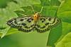DSC_3643 Brandnetelmot /  the small magpie (Gert-Paassen) Tags: nikon macro nikor 105mm d300 overijssel nederland netherlands niederlande moeras marsh moor insect leaf web blad brandnetel butterfly vlinder blokzijl