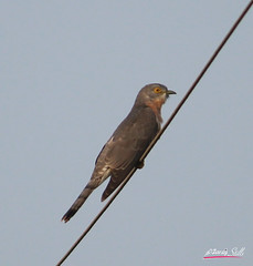 common hawk cuckoo (DineshMunuswamy) Tags: canon canon1300d canonindia chennaiphotography omrroad common hawkcuckoo