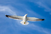 Bird (Adam from another planet...) Tags: sky bird blue seagull spain tenerife