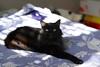 Puddy makes progress (rootcrop54) Tags: puddy longhair black female roommates neko macska kedi 猫 kočka kissa γάτα köttur kucing gatto 고양이 kaķis katė katt katze katzen kot кошка mačka gatos maček kitteh chat ネコ