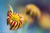 winter bunch (frederic.gombert) Tags: color colors light red gerbera daisy bunch yellow garden plant macro nikon