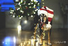 12/12A Jasper - Merry and Bright (yookyland) Tags: 12monthsfordogs 2017 jasper 1212 dog christmas holidays lights tree red