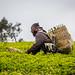 Tea plantations in Tanzania