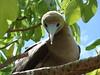 Tetiaroa Fou Brun (Purbofoto) Tags: tahiti tatiaroa ile aux oiseaux brando fou brun polynésie oiseau birds isle