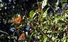 Sunning (TJ Gehling) Tags: insect lepidoptera butterfly nymphalidae monarch monarchbutterfly danaus danausplexippus plant schrub rosales rosaceae toyon heteromeles heteromelesarbutifolia overwintering albanyhill albanyca