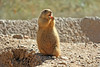 Prairie Dog (craigsanders429) Tags: arizona tucsonarizona arizonasonoradesertmuseum prairiedog animals
