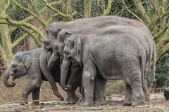 Asiatics elephants Blijdorp (K.Verhulst) Tags: asiaticelephants asiaticelephant aziatischeolifant aziatischeolifanten olifanten elephant blijdorp diergaardeblijdorp rotterdam