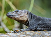you'd smile too if you knew what I do (Paul Wrights Reserved) Tags: lizard reptile nature naturephotography smiling smile knowing bokeh animal animalantics animals wildlife wildanimal