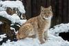 Carpathian Lynx cub (Lynx lynx carpaticus) (JirikD) Tags: cub mládì tamronsp7020028g2 šelmy snow sníh savci rys predator mammals lynx carnivora animals zooliberec nikond7200 2017 liberec českárepublika zvířata mládě