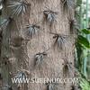 Opuntia brasiliensis-2 (SUBENUIX) Tags: cactaceaeopuntias opuntiabrasiliensis suculentas subenuix subenuixcom planta suculent suculenta botanic botanical