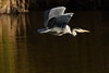DSC_4967 (rtatn8) Tags: springwelllake rickmansworth hertfordshire england uk bird greyheron ardeacinerea flikr