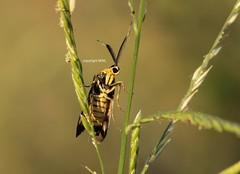 Lepidoptera (Phil Arachno) Tags: thailand sukhothai lepidoptera insecta insekt