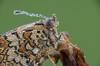 wet fritillary (Christian Birzer) Tags: sitzen edelfalter wasser blume tier wachtelweizenscheckenfalter orange natur makro grün unschärfe insekt tau schmetterling draussen nahaufnahme scheckenfalter blüte unscharferhintergrund tropfen flügel braun sommer naturschutz