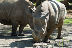 White Rhinoceros (Ceratotherium simum) (fisherbray) Tags: fisherbray usa unitedstates florida orangecounty orlando baylake disney waltdisneyworld wdw disneyworld animalkingdom themepark nikon d5000 kilimanjarosafaris whiterhinoceros ceratotheriumsimum squarelippedrhinoceros rhino