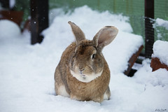 Marlyn (Giulia Orsatti) Tags: rabbit flemish giant coniglio neve sow inverno pet animals pets bunny