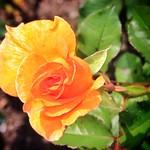 Stratford Ontario ~ Canada ~  Rose Flower ~ Shakespearean  Garden Botanical  ~ Heritage - Yellow Rose thumbnail