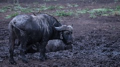 DSC_2274.jpg (mariov.exe) Tags: wildlife capebuffalo buffalo nature africa